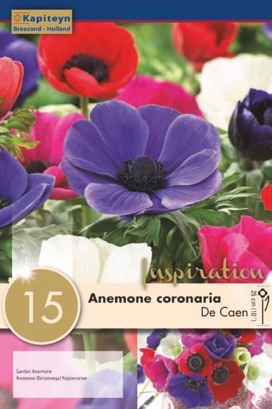 Bulbi di Anemone The Caen confezione da 15 pz