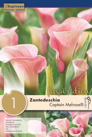 Bulbo di Zantedeschia  Calla Captain Melrose confezione da 1 pz