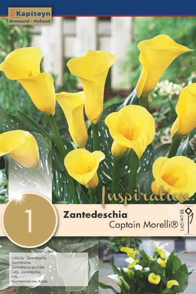 Bulbo di Zantedeschia Calla Captain Morelli confezione da 1 pz