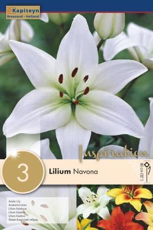 Bulbi di Lilium Asiatic Navona confezione da 3 pz