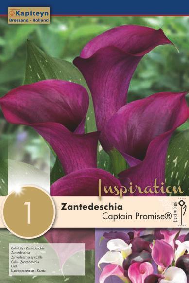Bulbo di Zantedeschia Calla Captain Promise confezione da 1 pz