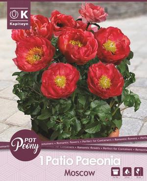 Bulbo di Peonia Moscow confezione da 1 pz