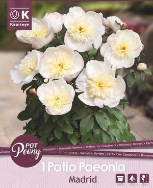 Bulbo di Peonia Madrid confezione da 1 pz