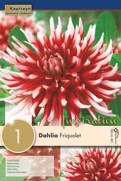 Bulbo di Dahlia Cactus Friquolet confezione da 1 pz