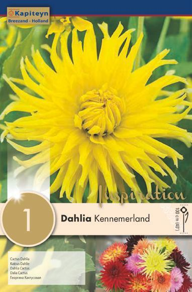 Bulbo di Dahlia Cactus Kennemerland confezione da 1 pz
