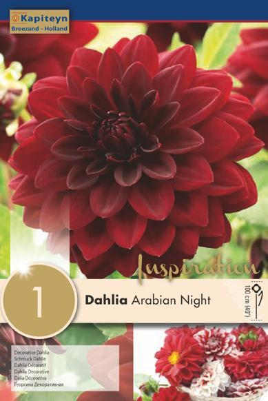 Bulbo di Dahlia Arabian Night confezione da 1 pz