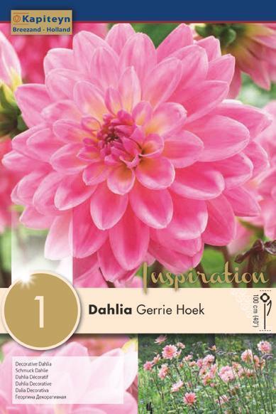 Bulbo di Dahlia Decorative Gerrie Hoek confezione da 1 pz