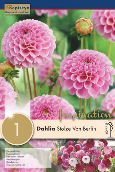Bulbo di Dahlia Pompon Stolze Von Berlin confezione da 1 pz