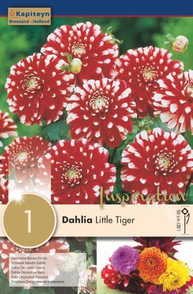 Bulbo di Dahlia Little Tiger confezione da 1 pz