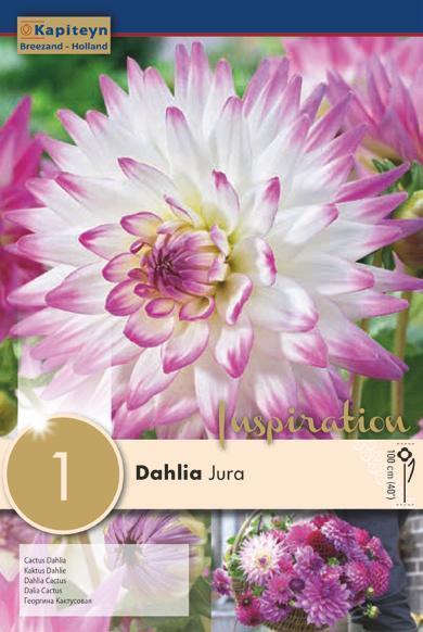 Bulbo di Dahlia Jura confezione da 1 pz