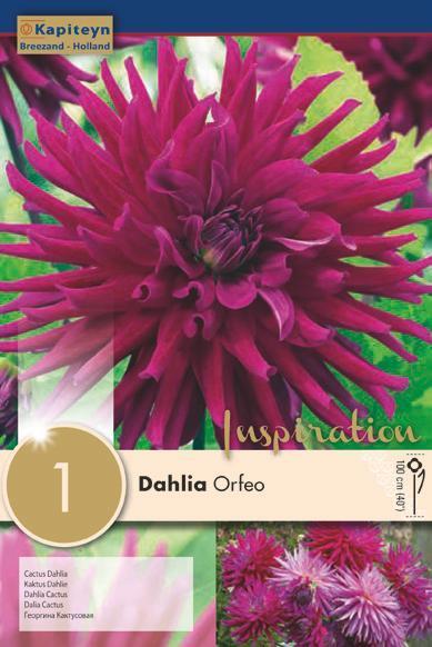 Bulbo di Dahlia Orfeo confezione da 1 pz