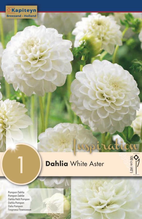 Bulbo di Dahlia Pompon White Aster confezione da 1 pz