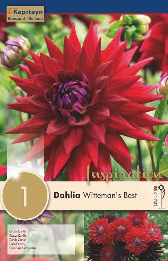 Bulbo di Dahlia Witteman's Best confezione da 1 pz