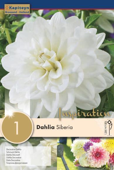Bulbo di Dahlia Siberia confezione da 1 pz