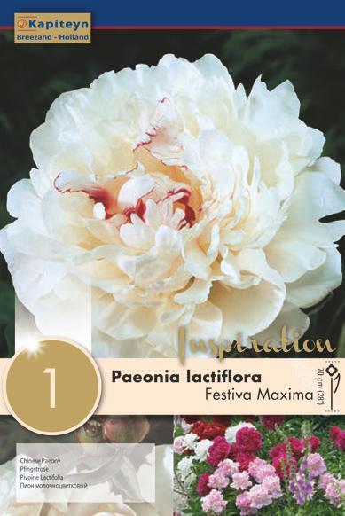 Bulbo di Peonia Lactiflora Festiva Maxima confezione da 1 pz