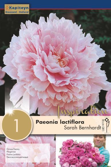 Bulbo di Peonia Lactiflora Sarah Bernhardt confezione da 1 pz