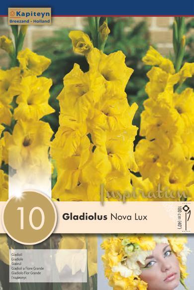 Bulbi di Gladiolo Nova Lux confezione da 10 pz