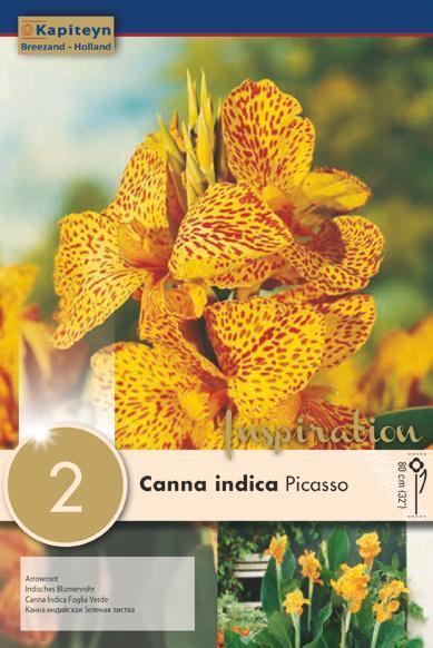 Bulbi di Canna Indica Picasso confezione da 2 pz