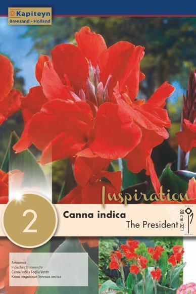 Bulbi di Canna Indica The President confezione da 2 pz