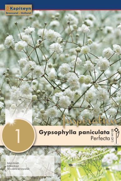 Bulbo di Gypsophylla Perfecta confezione da 1 pz