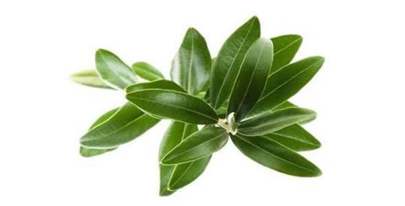 Estratto sinergico di foglie di ulivo