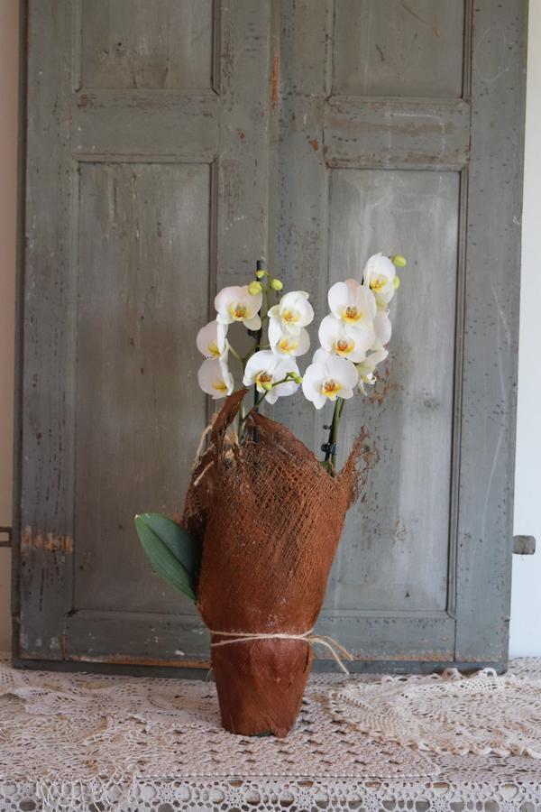 Orchidea confezione cocco