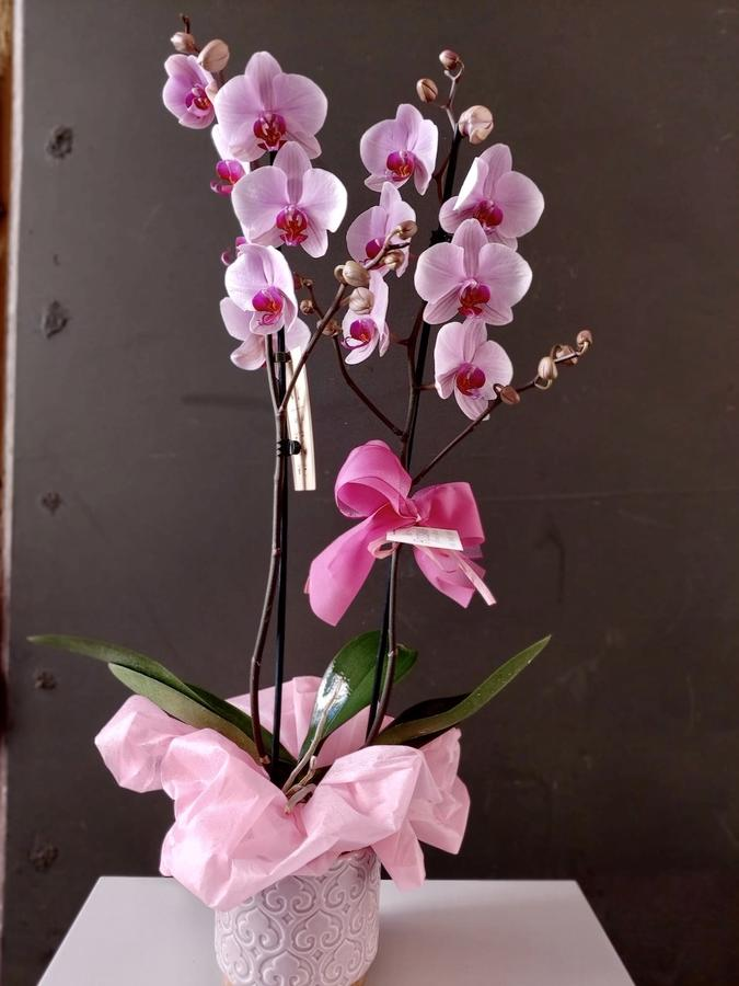 Phalaenopsis in pianta