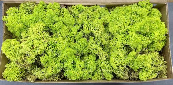 Muschio Lichene stabilizzato color Verde Chiaro