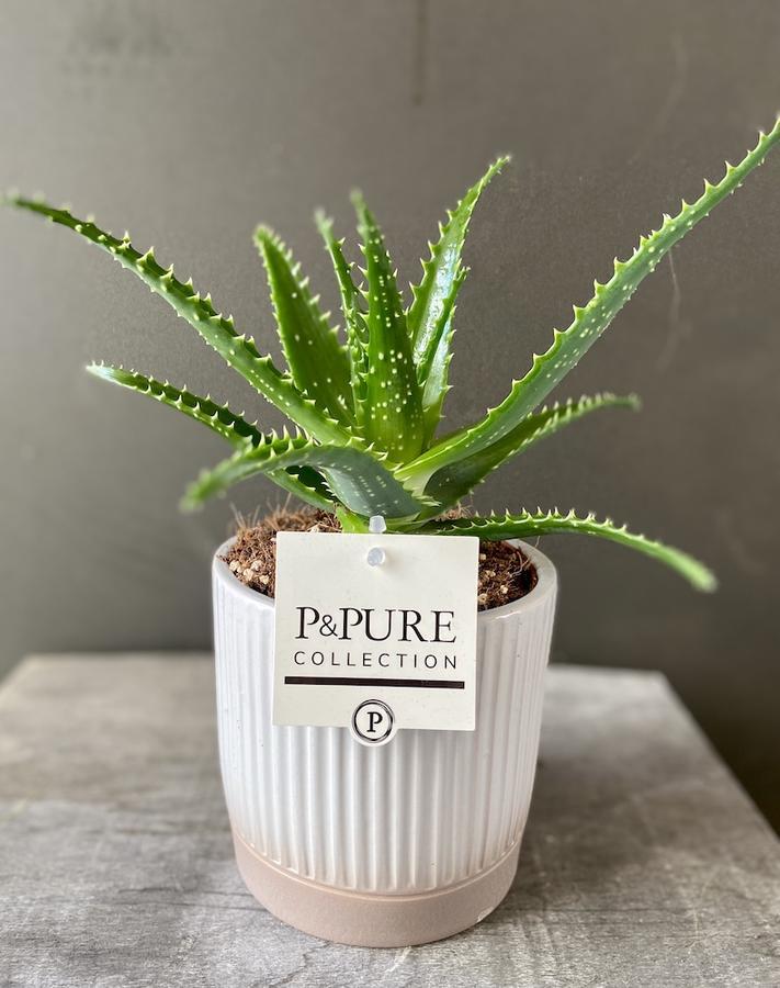 Aloe in pianta