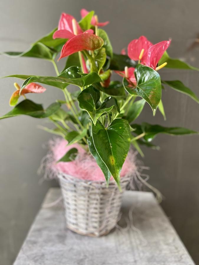 Anthurium in pianta