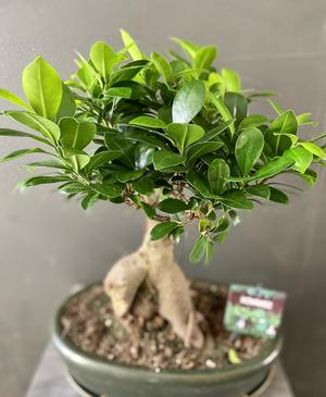 Bonsai Ficus in pianta
