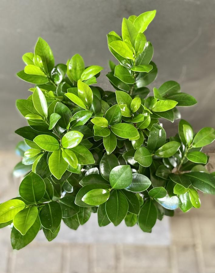 Bonsai Ficus in pianta