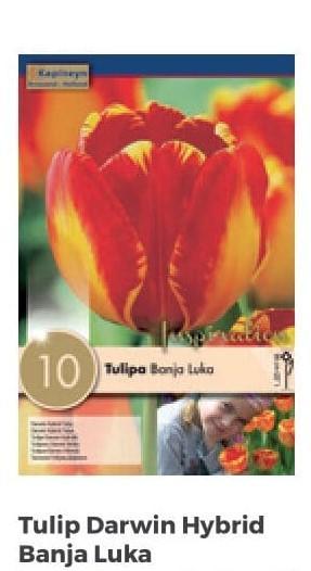 Bulbi di Tulipano Banja Luka confezione da 10 pz