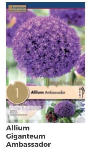 Bulbi Autunnali di Allium Ambassador confezione da 1 pz