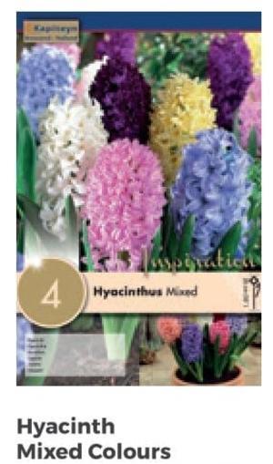 Bulbi di Giacinto Mixed Colours confezione da 4 pz