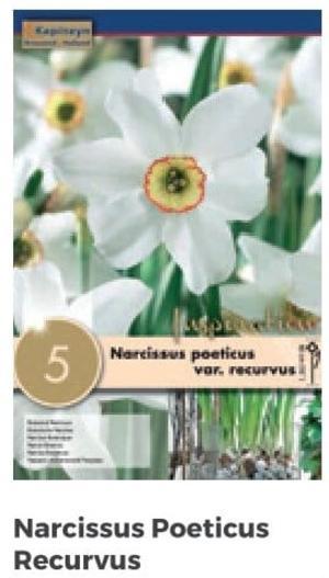 Bulbi di Narciso Recurvus confezione da 5 pz