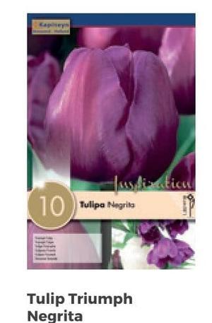 Bulbi di Tulipano Negrita confezione da 10 pz