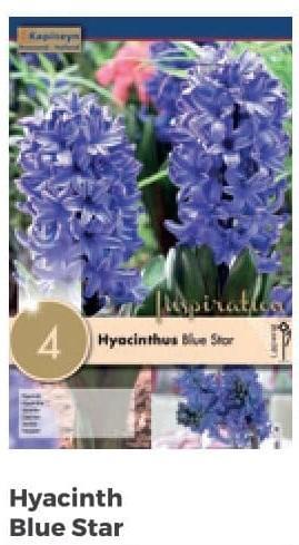 Bulbi di Giacinto Blue Star confezione da 4 pz