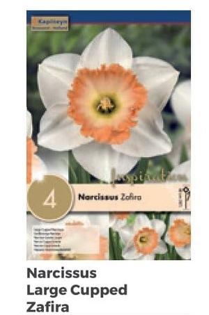 Bulbi di Narciso Large Cupped Zafira confezione da 4 pz
