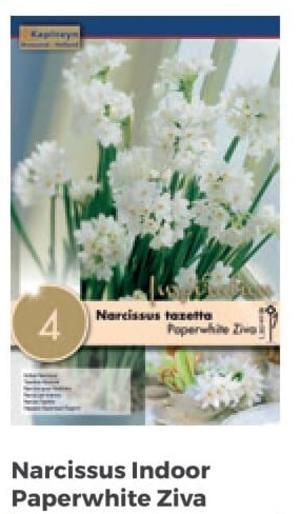 Bulbi di Narciso Paperwhite Ziva confezione da 4 pz
