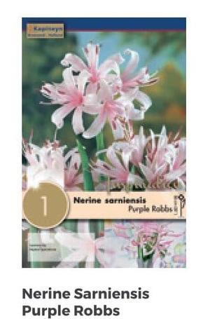 Bulbi di Nerine Purple Robbs confezione da 1 pz