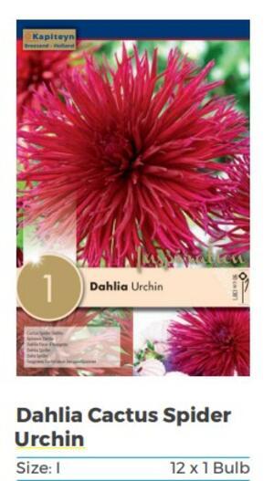 Bulbi di Dahlia Urchin Us confezione da 1 pz