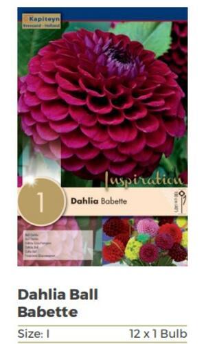 Bulbi di Dahlia Babette confezione da 1 pz