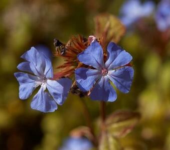 Cerato fiori di Bach 10 ml