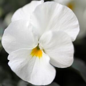 Semi di Viola del Pensiero Bianca
