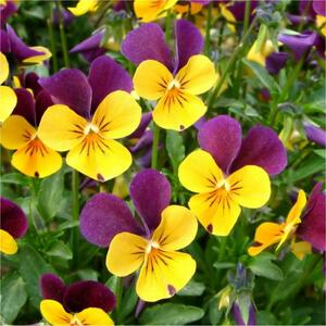 Semi di Viola Cornuta