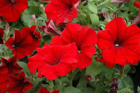 Semi di Petunia Nana Rossa