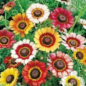 Semi di Crisantemo Arcobaleno