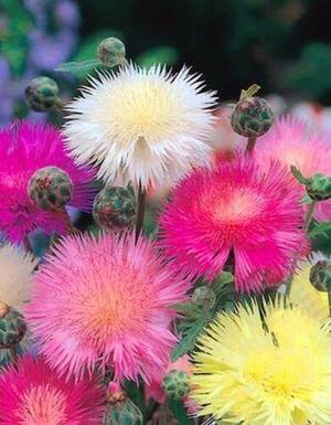Sementi di Centaurea Imperiali
