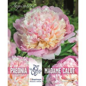 Bulbi di Peonia Madame Calot confezione da 1 pz
